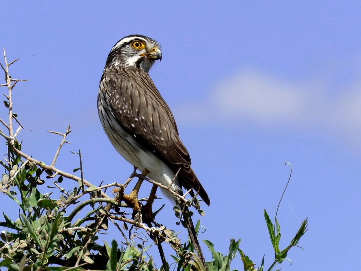 Spot-winged Falconet - Patricio Cowper Coles