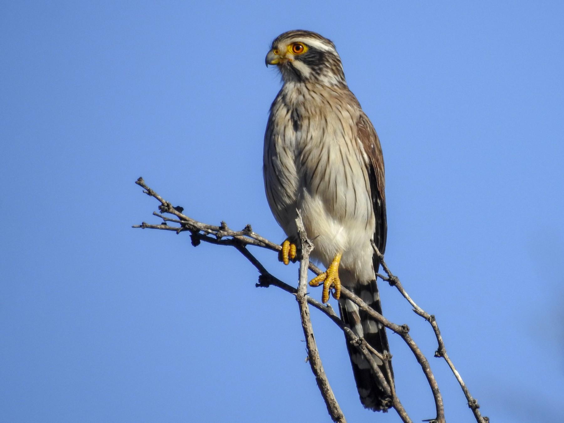 Spot-winged Falconet - German Roitman