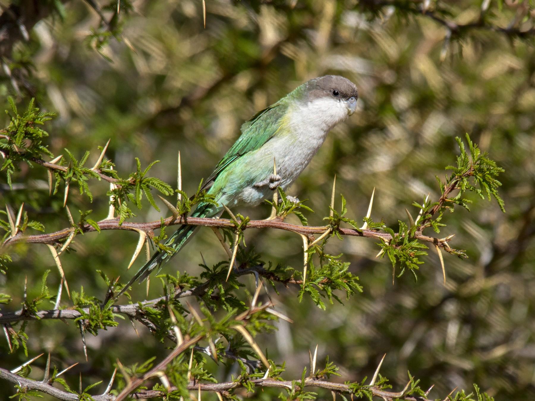 Catita Serrana Grande - Andres Vasquez Noboa - Tropical Birding Tours