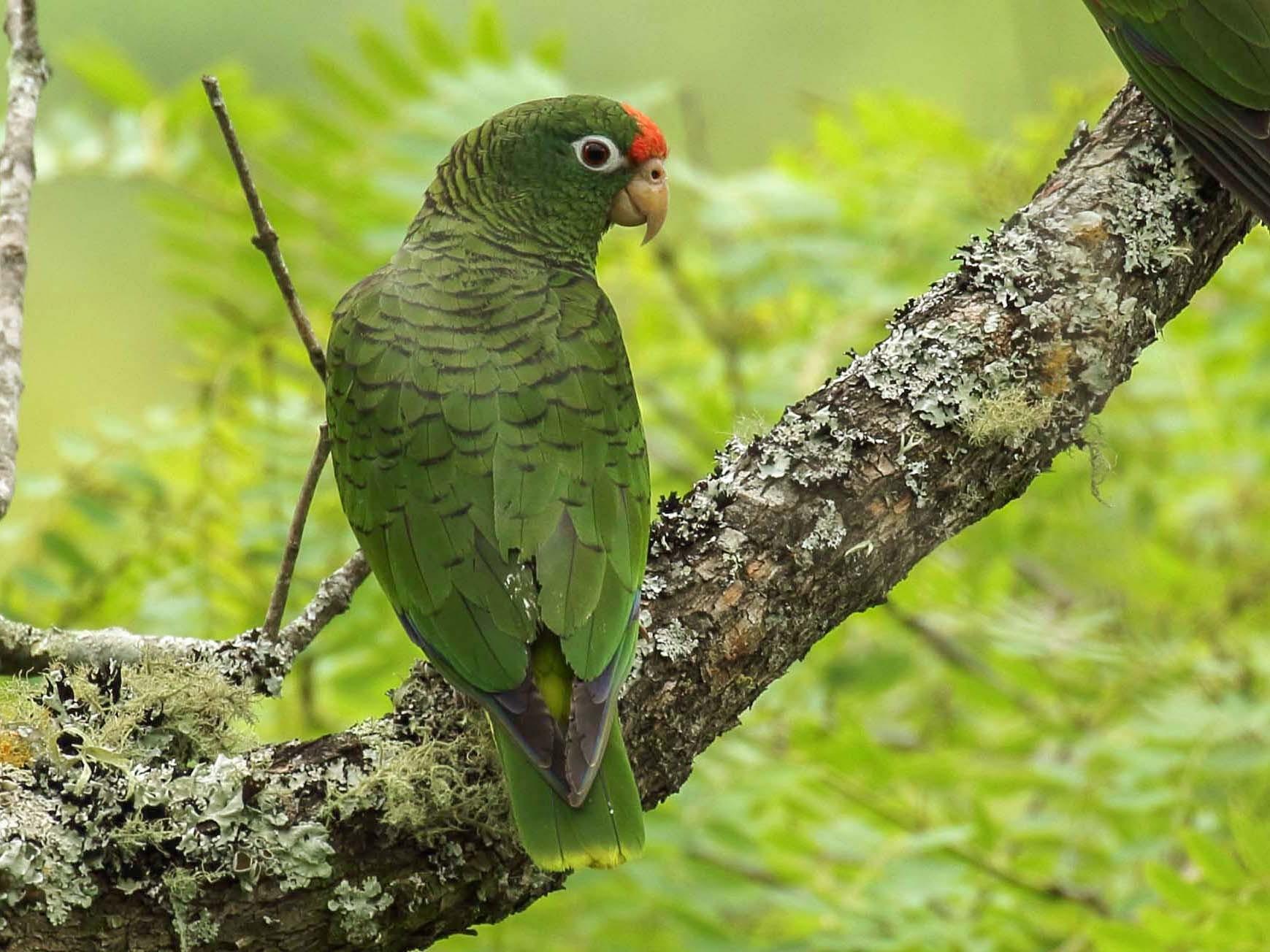 Tucuman Parrot - Paul Noakes