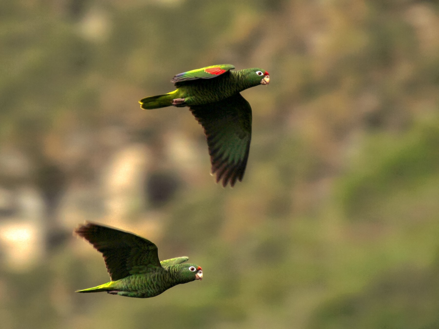 Tucuman Parrot - Richard Greenhalgh