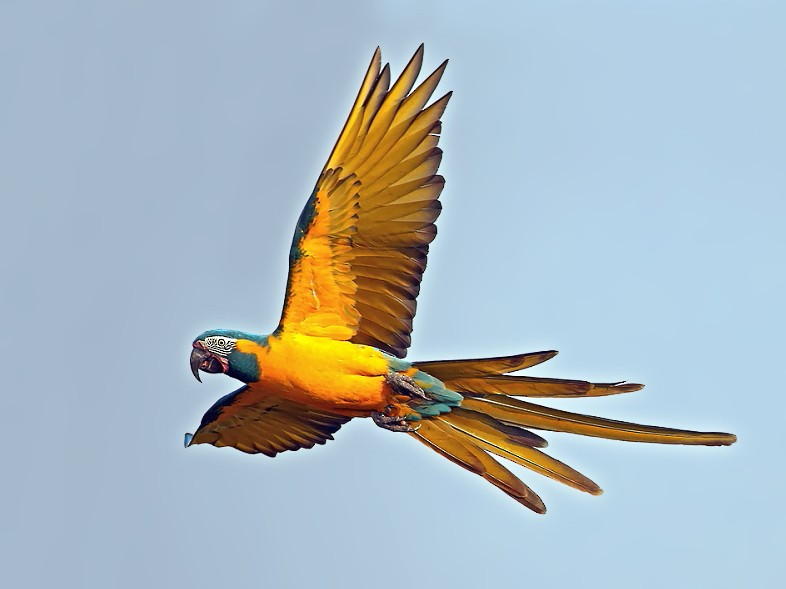 Blue-throated Macaw - Janos  Olah