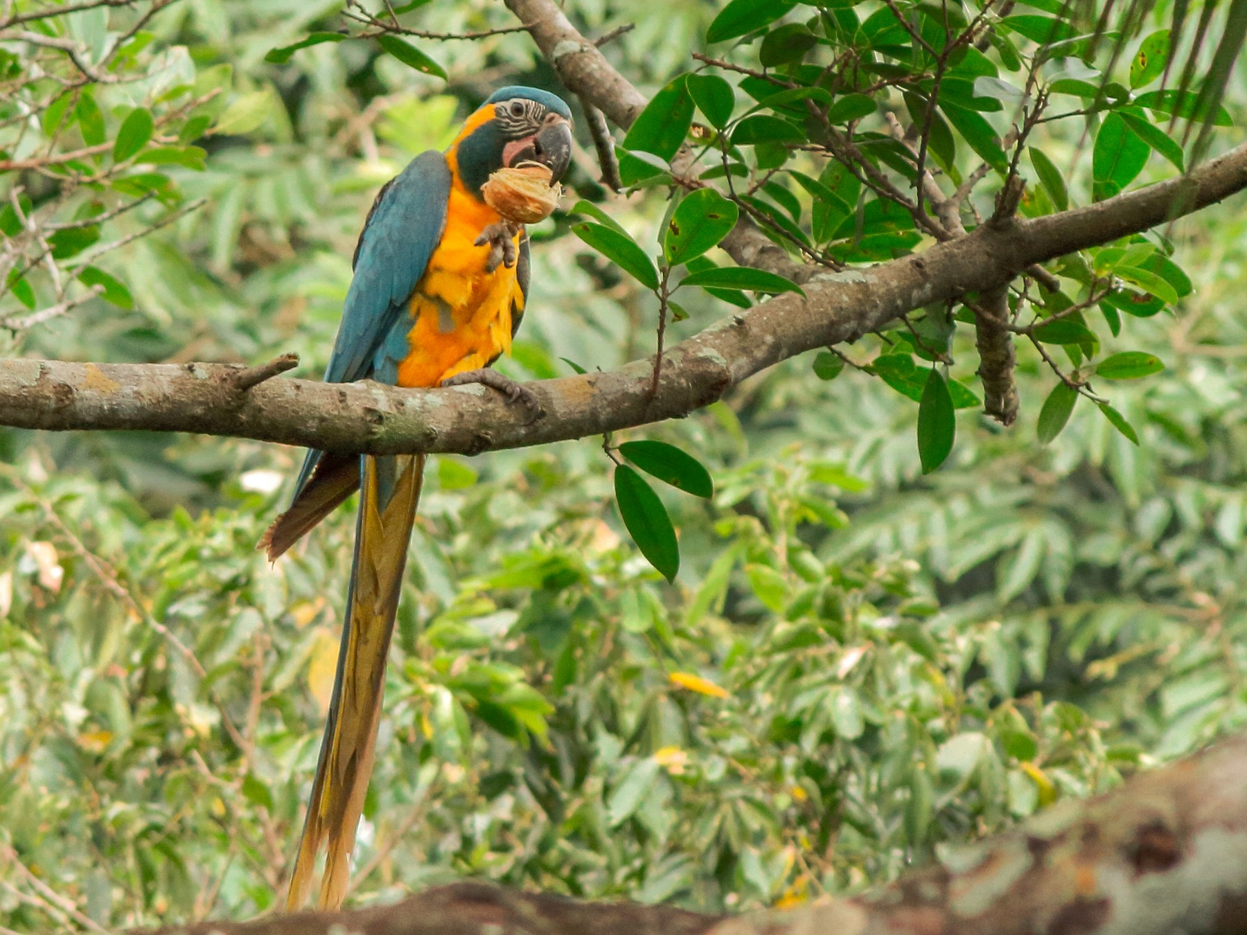 Blue-throated Macaw - Manfred Bienert