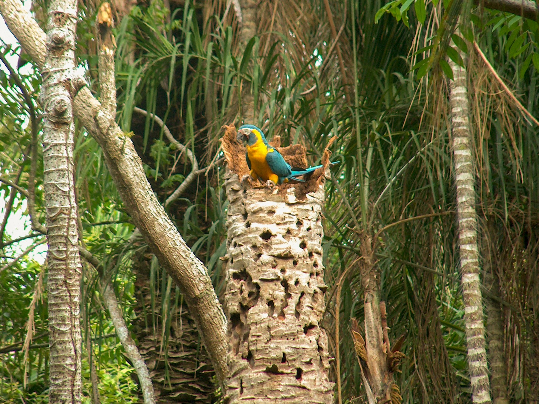 Blue-throated Macaw - Alan Kneidel