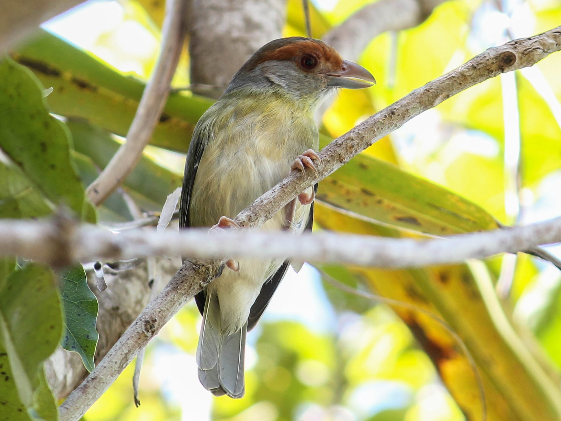 Rufous-browed Peppershrike - Jonathan  Vargas