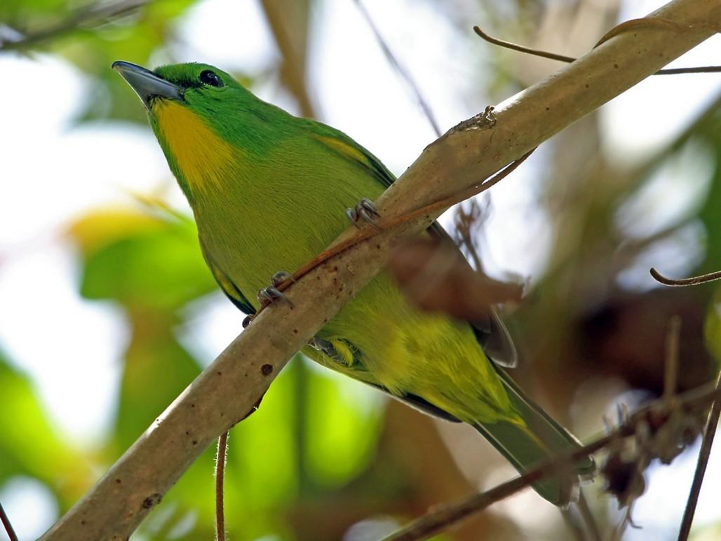 Green Shrike-Vireo - Nigel Voaden