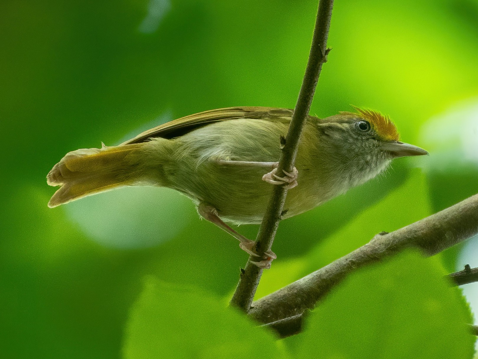 Tawny-crowned Greenlet - Rio Dante