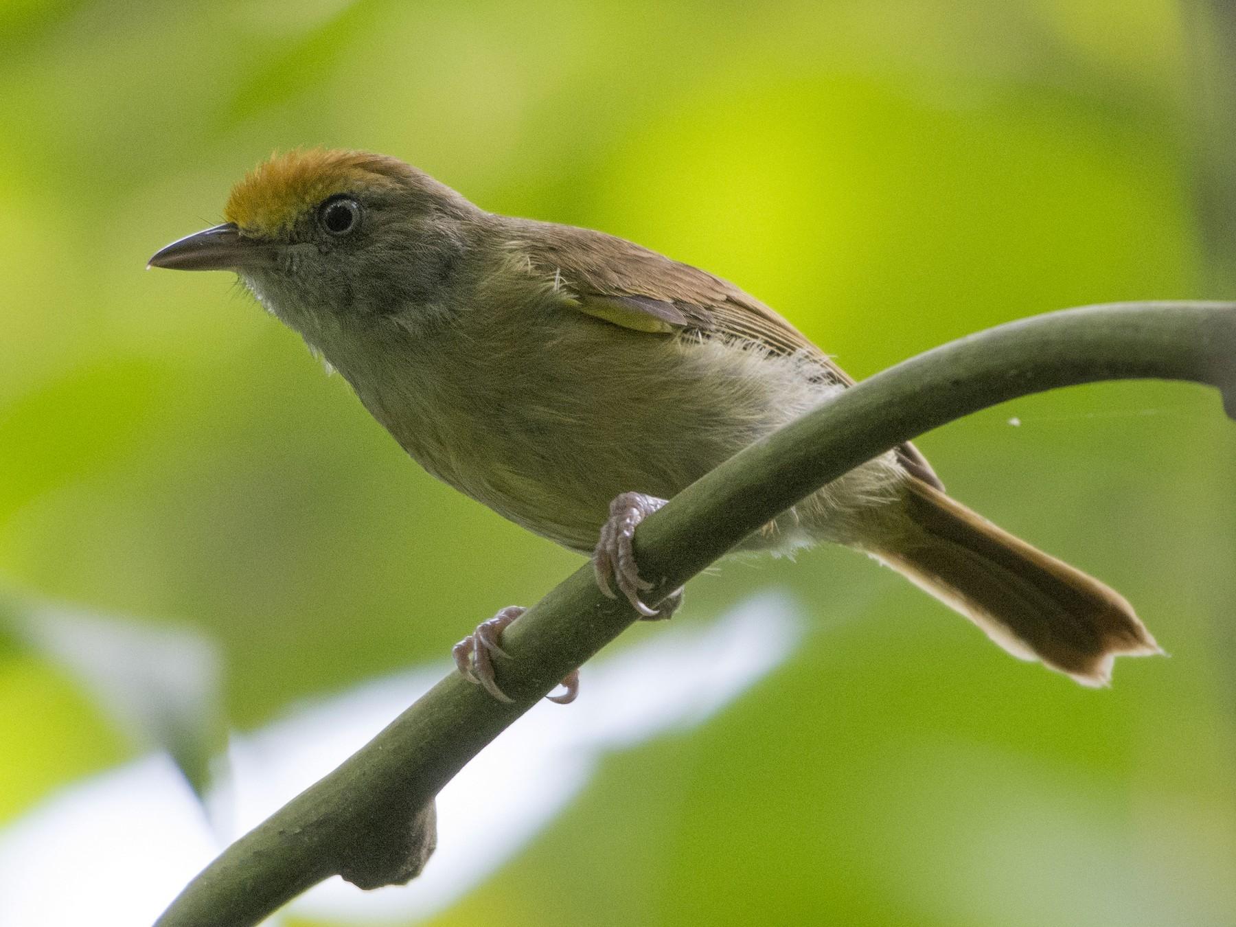 Tawny-crowned Greenlet - Carlos Echeverría