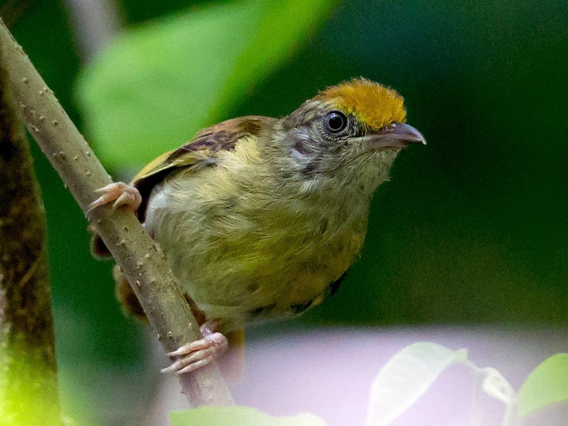 Tawny-crowned Greenlet - Rolando Chávez