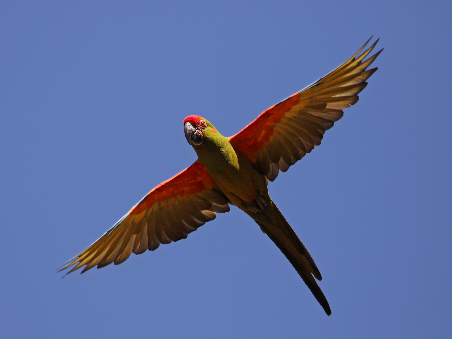 Red-fronted Macaw - Jay McGowan