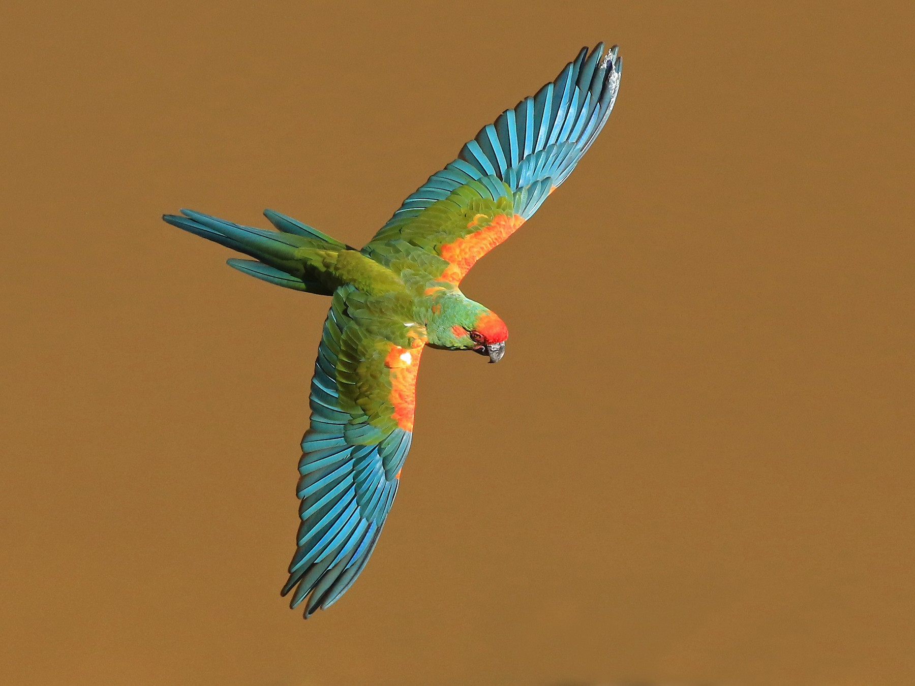 Red-fronted Macaw - Phillip Edwards