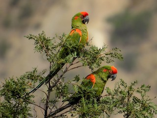 - Red-fronted Macaw