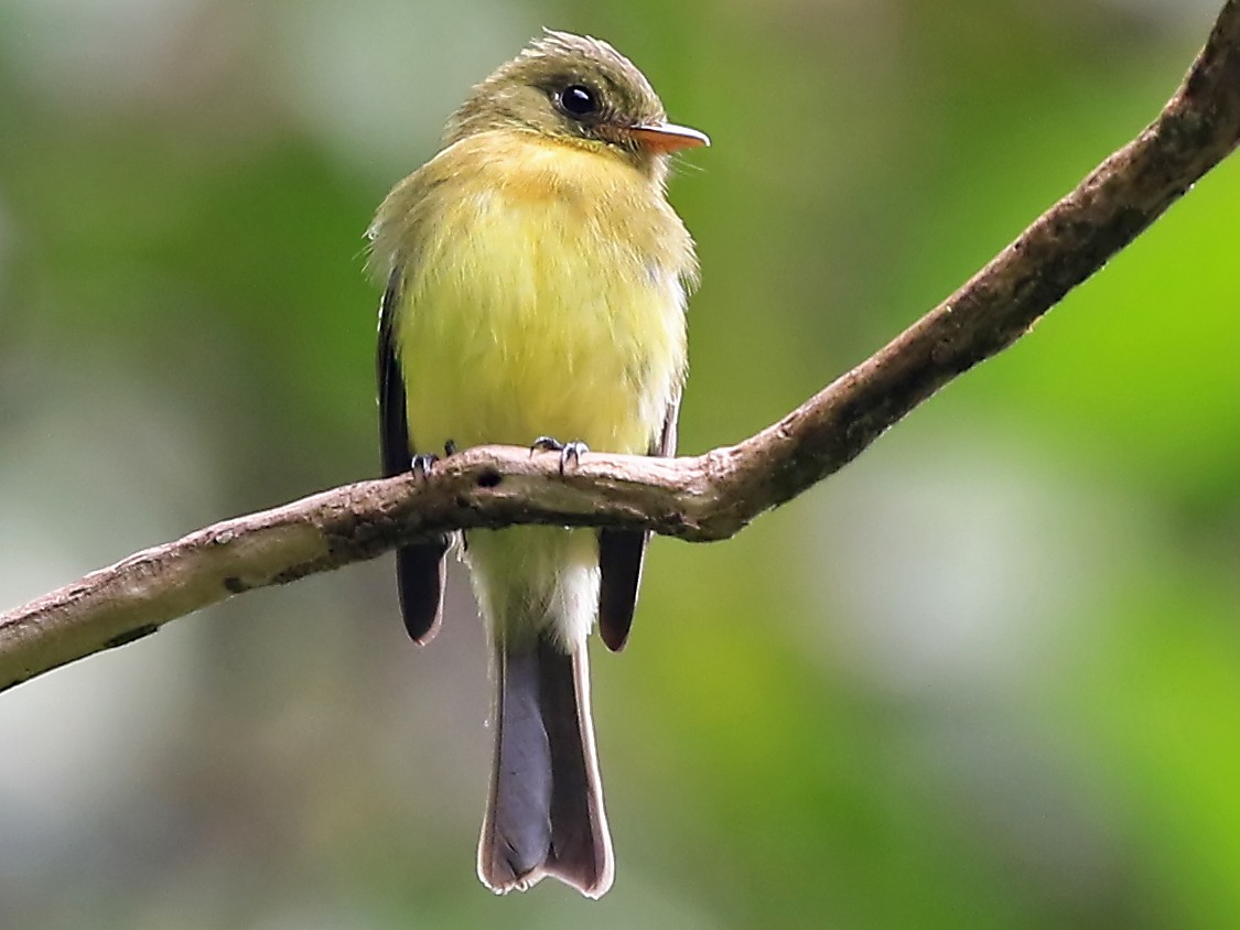 Tufted Flycatcher - Phillip Edwards