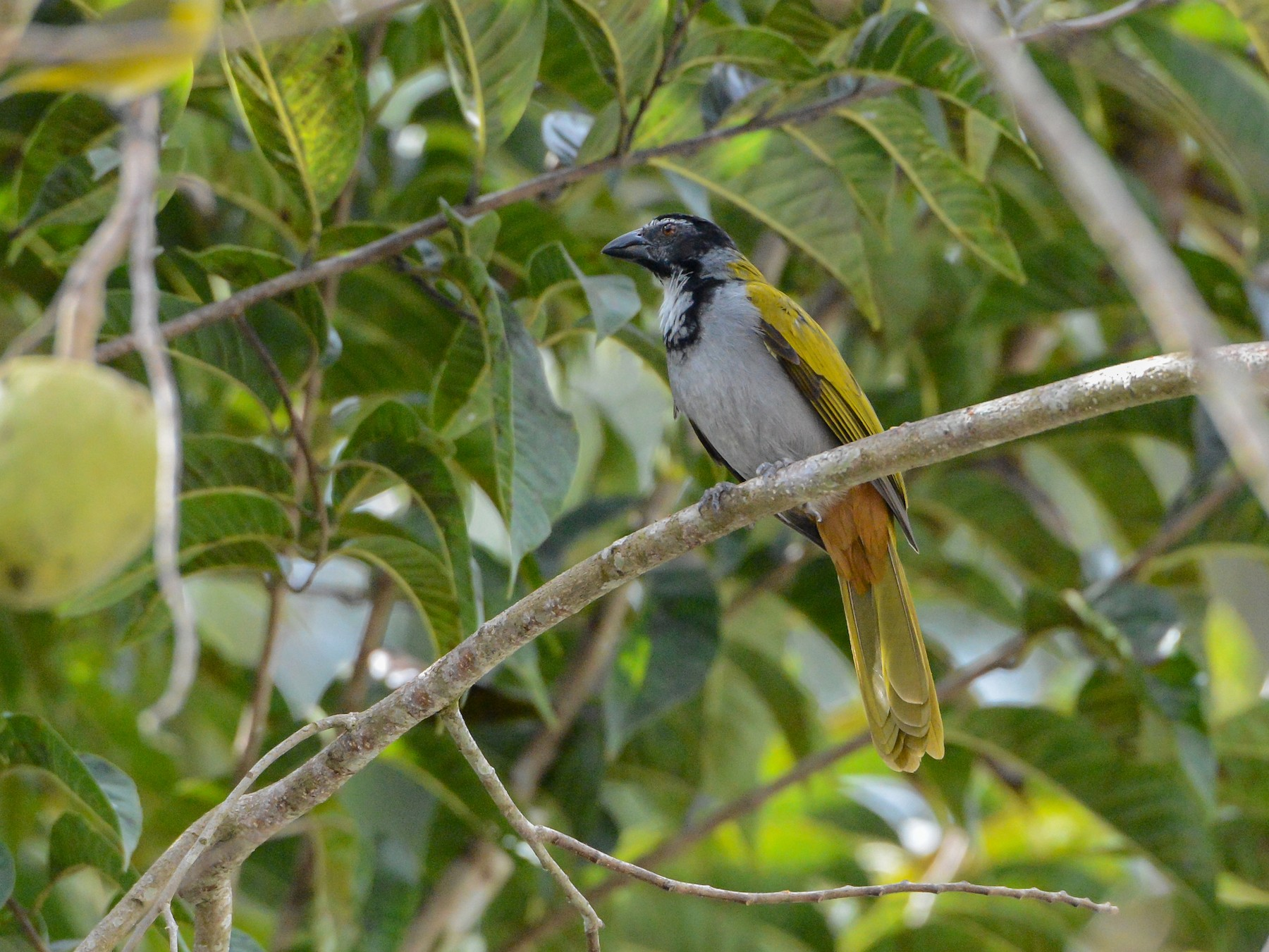Black-headed Saltator - Erik Martin