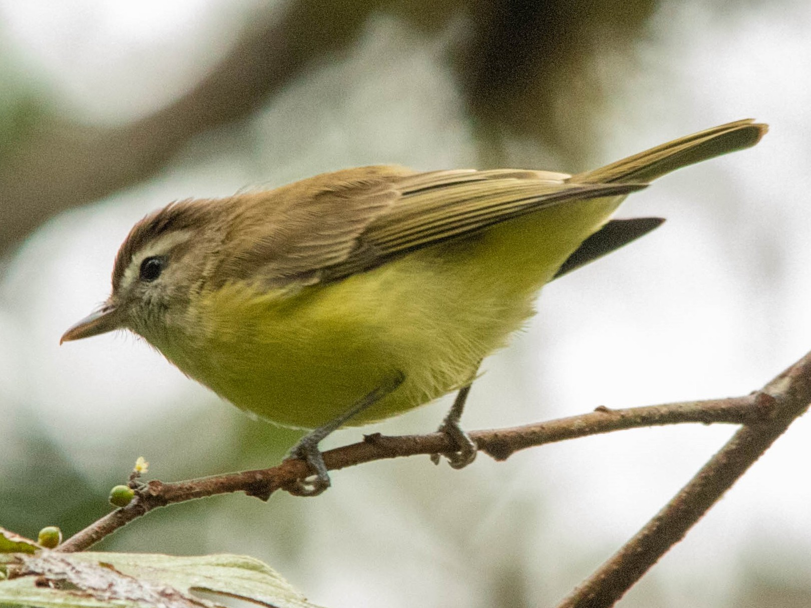 Brown-capped Vireo - Christiana Fattorelli