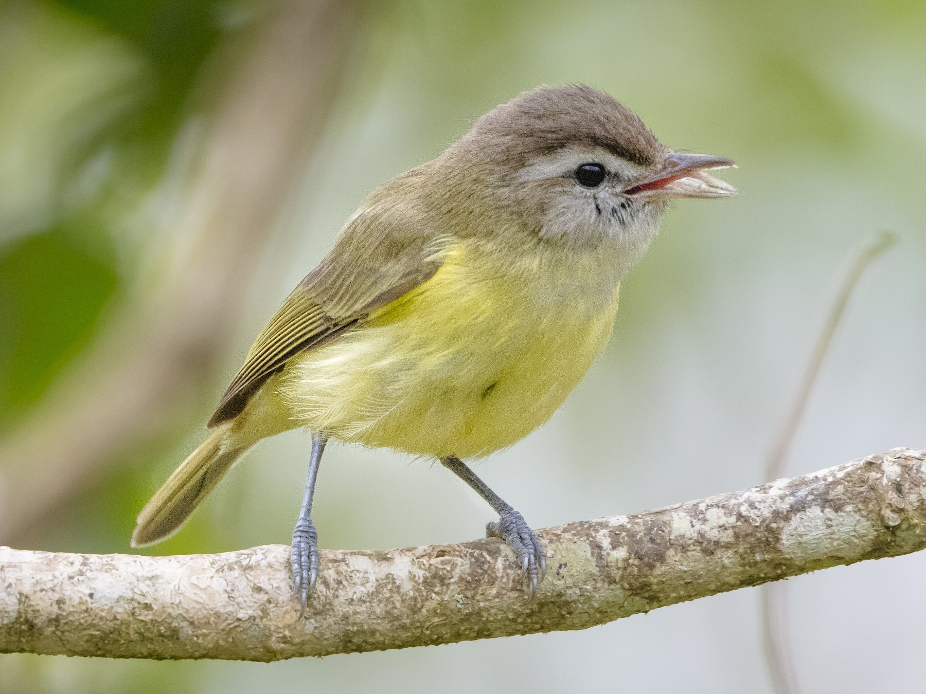 Brown-capped Vireo - Shirley Donald