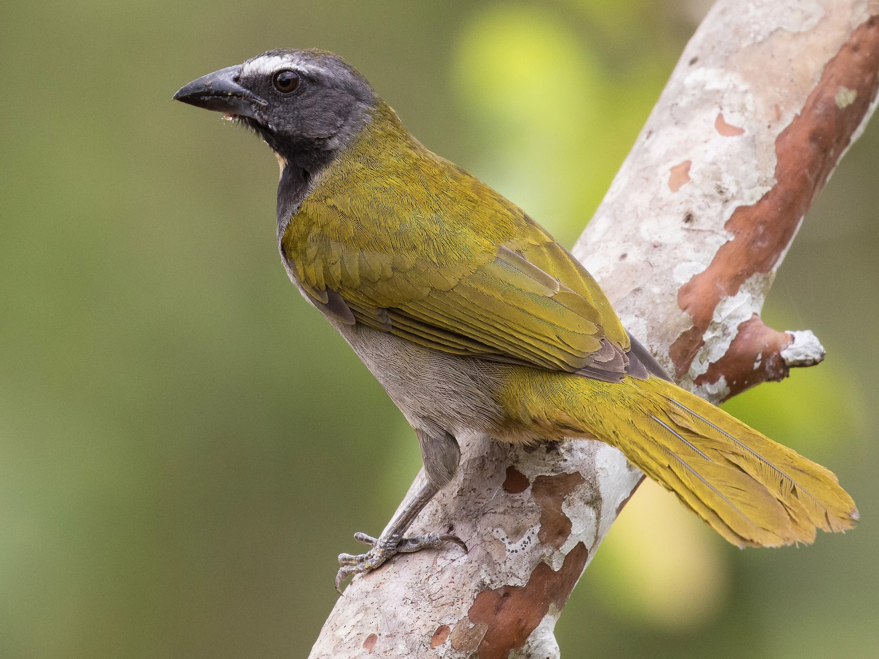 Buff-throated Saltator - J.B. Churchill