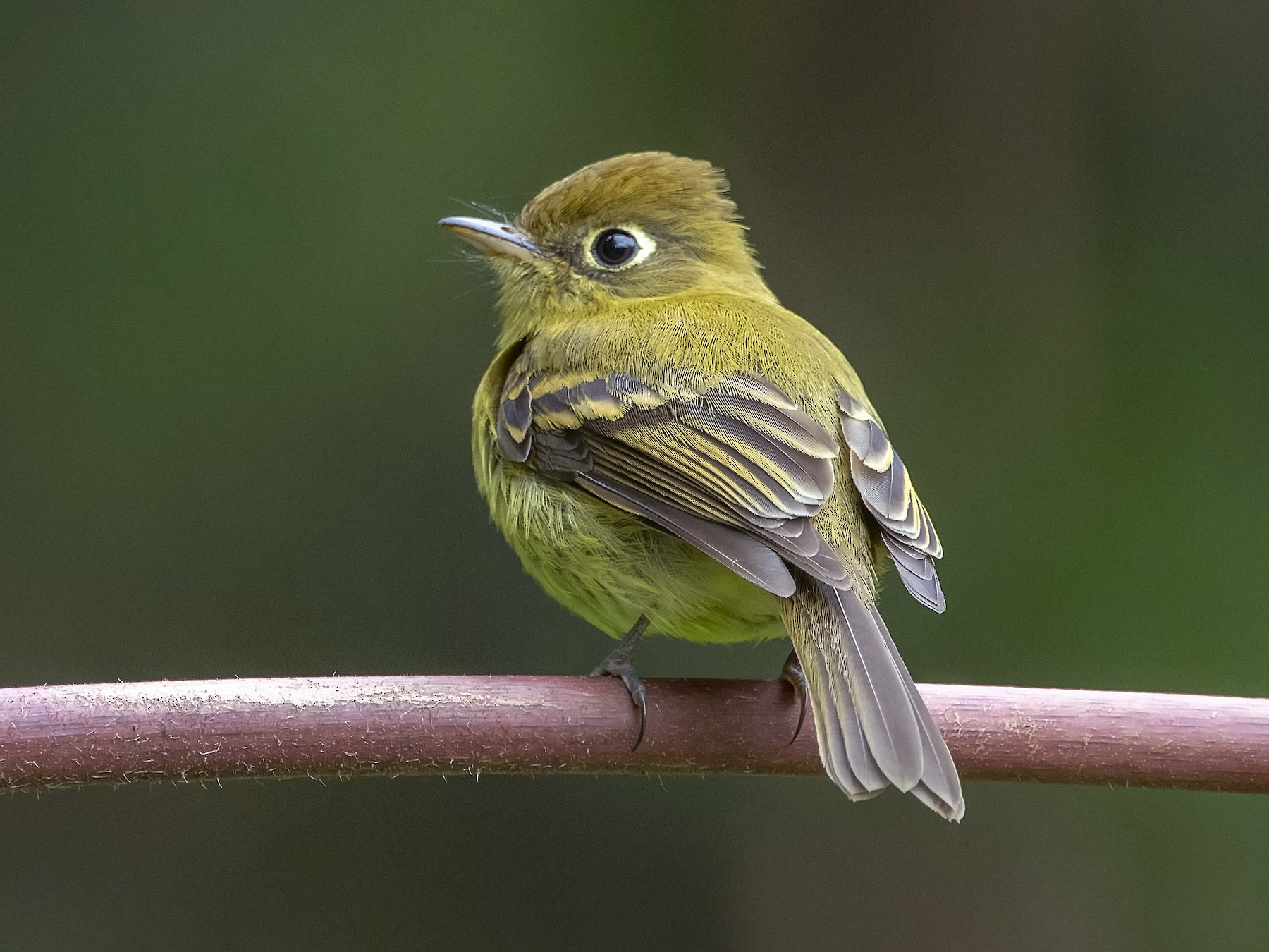Yellowish Flycatcher - Leandro Arias