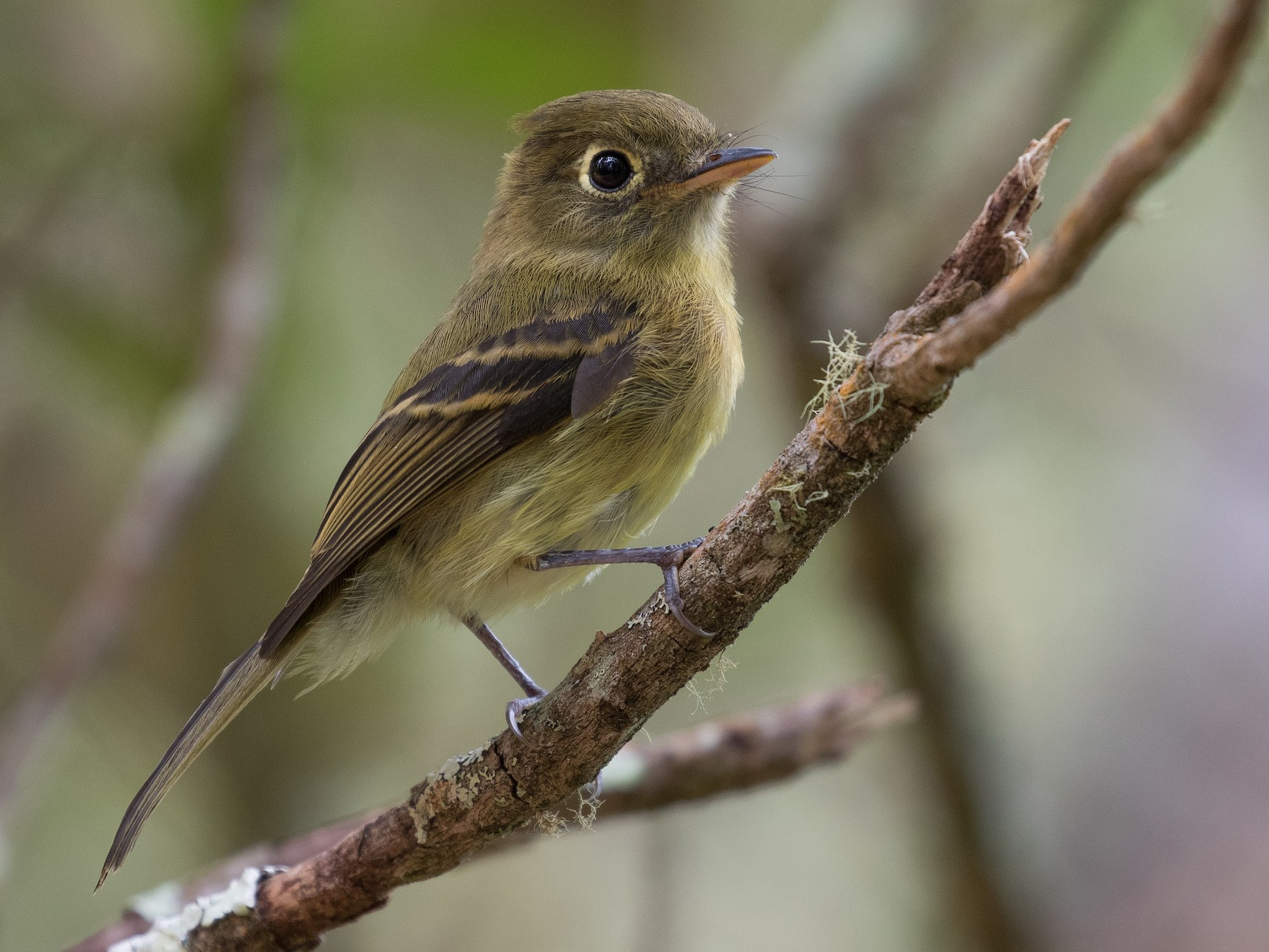 Yellowish Flycatcher - Martin  Flack
