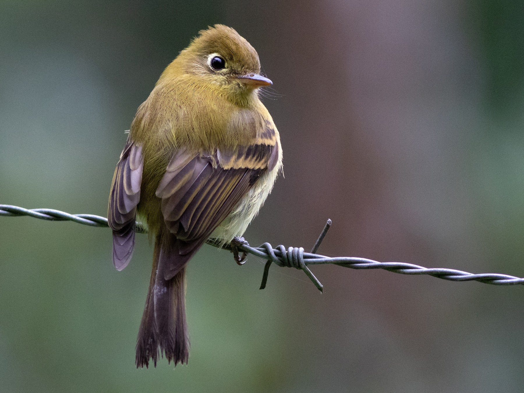 Yellowish Flycatcher - Lucas Bobay