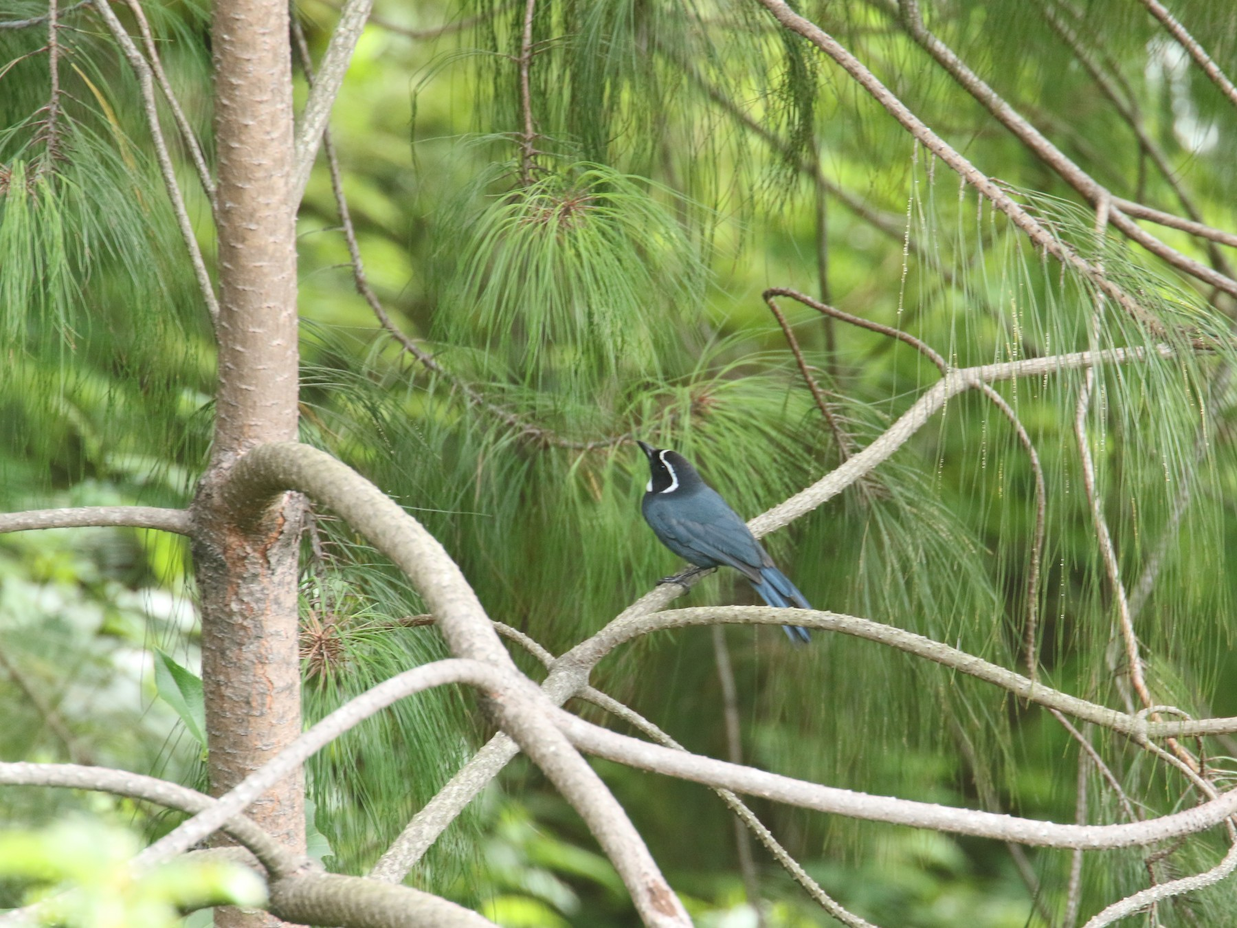 White-throated Jay - Calvin Walters