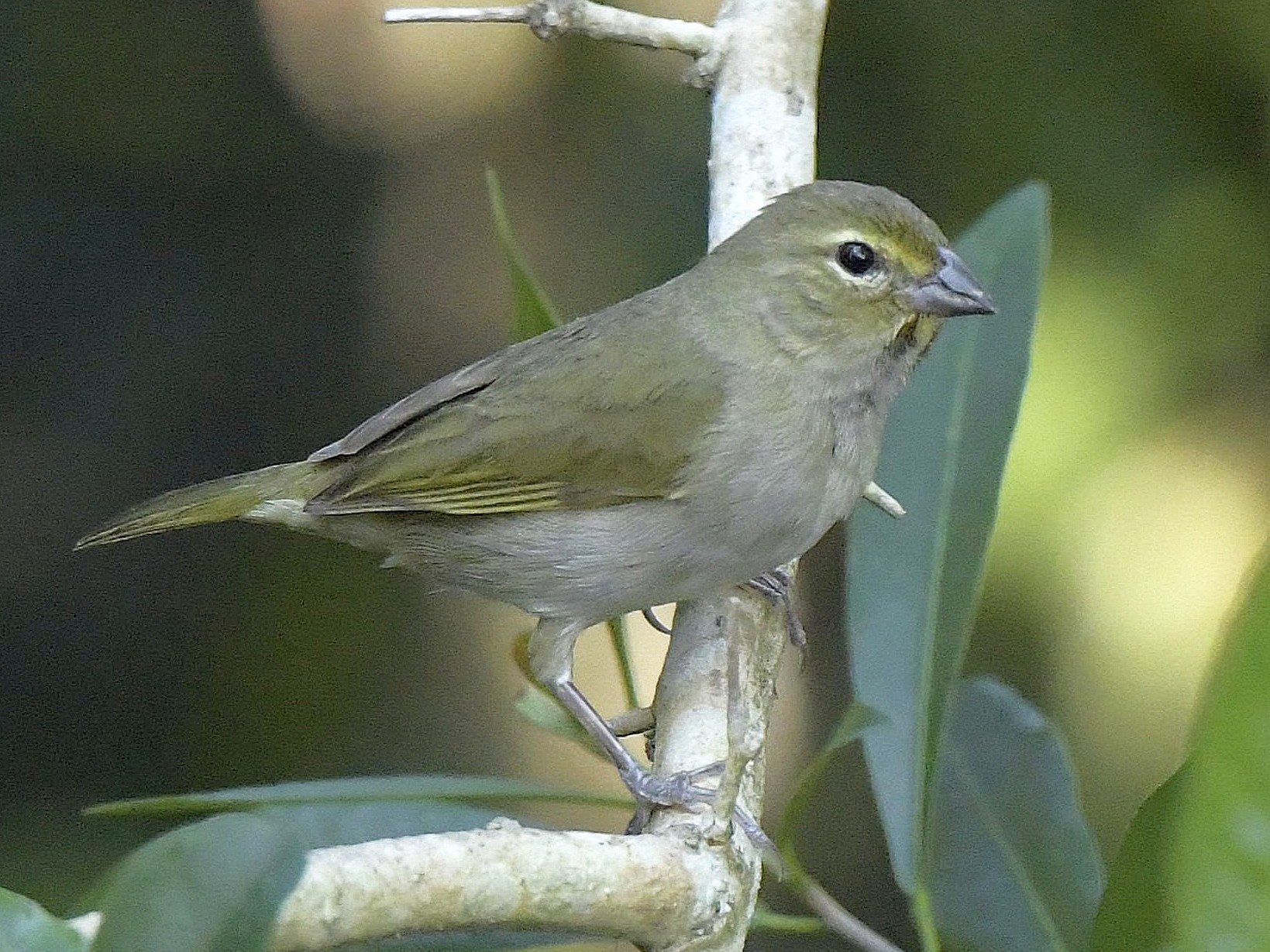 Yellow-faced Grassquit - Paul Arneson