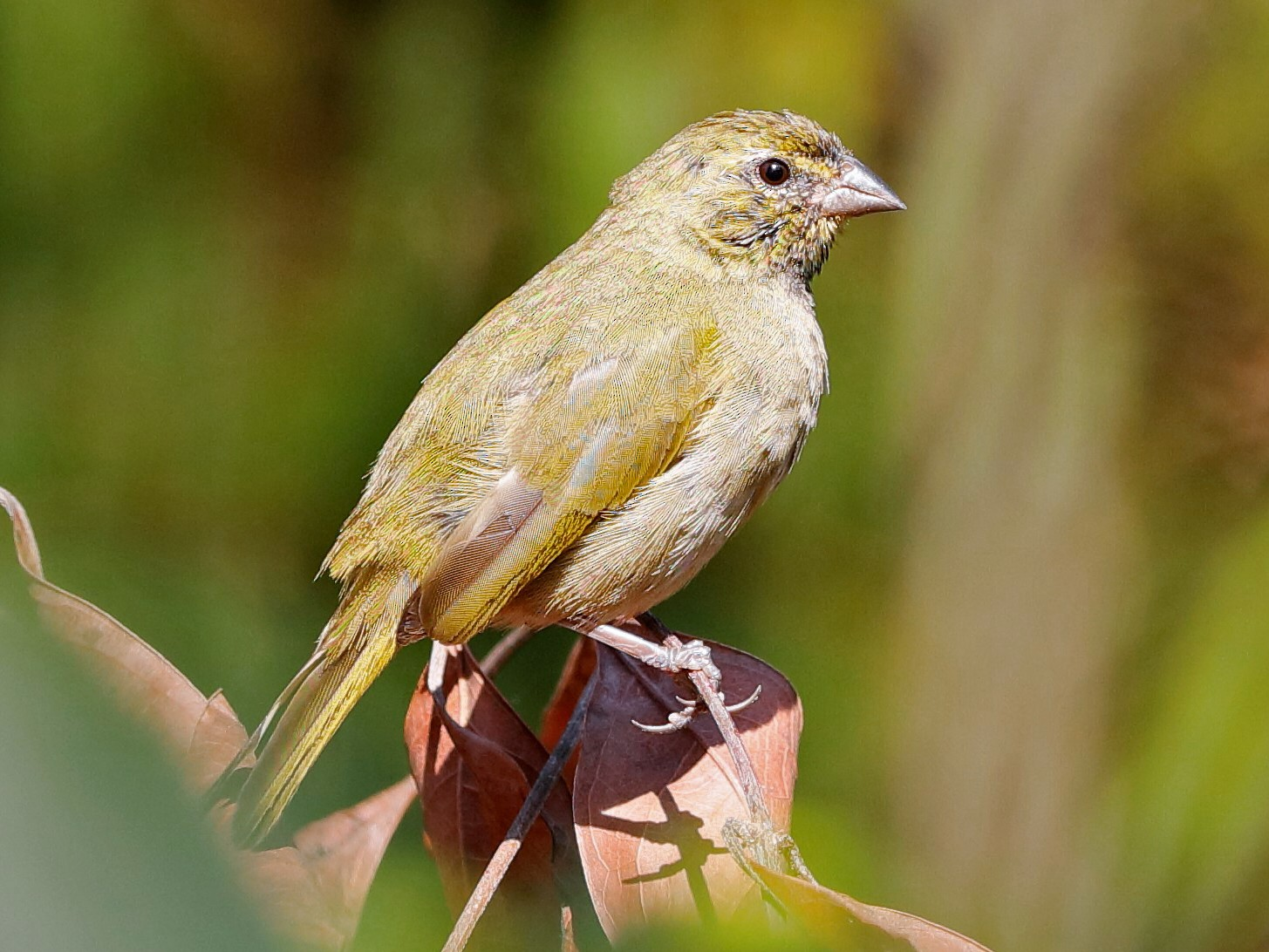 Yellow-faced Grassquit - Holger Teichmann