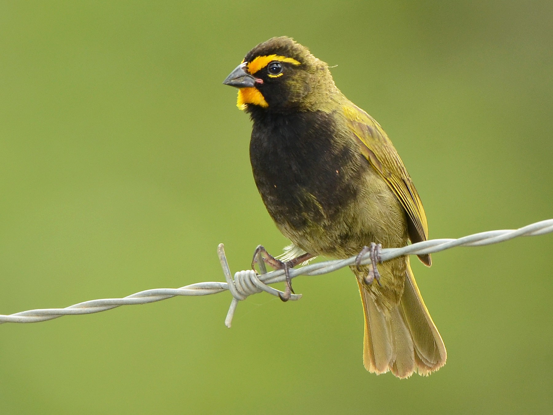 Yellow-faced Grassquit - José Frade