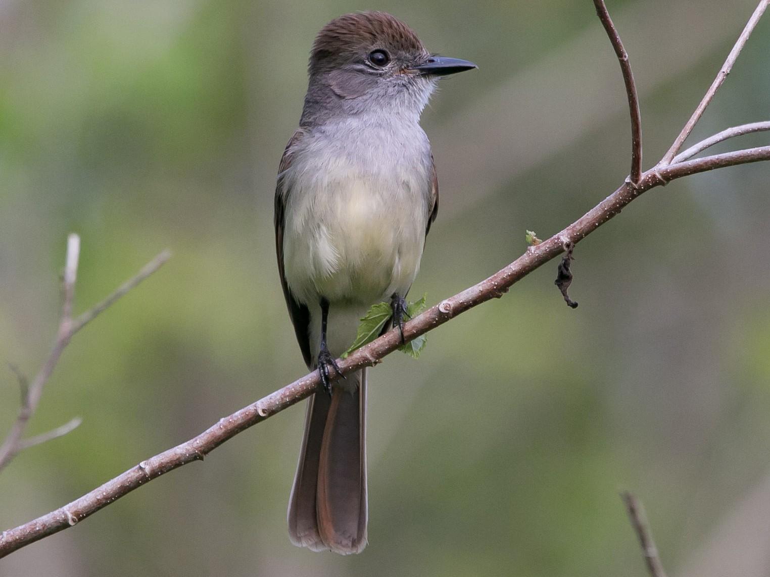 Yucatan Flycatcher - Isaias Morataya