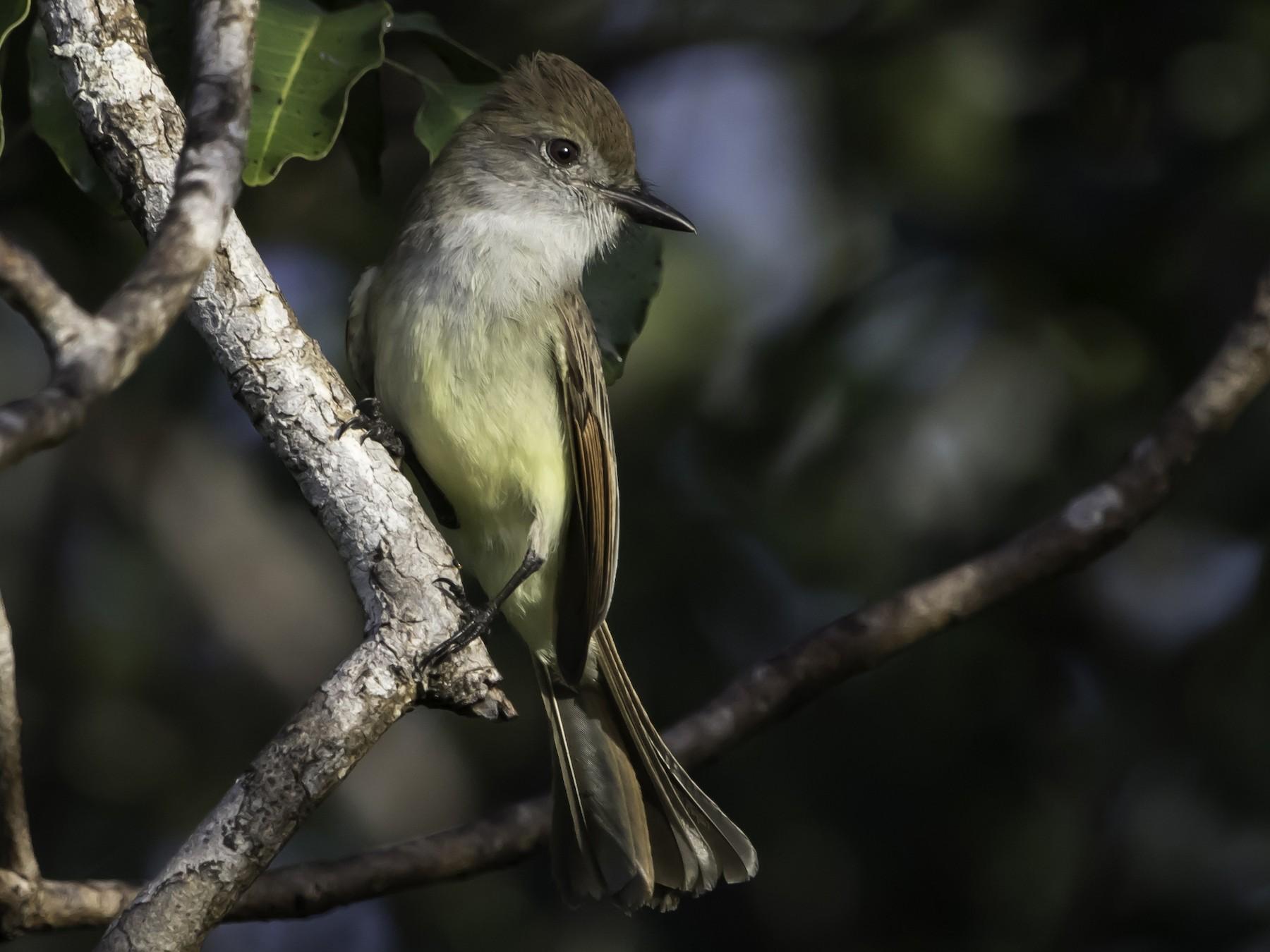 Yucatan Flycatcher - Jorge Eduardo  Ruano