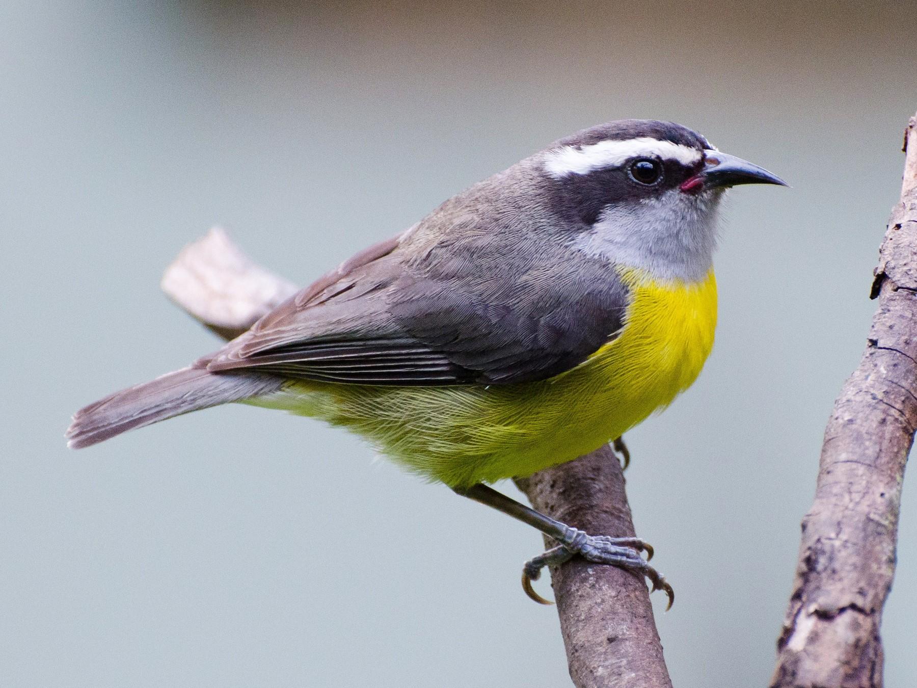 Bananaquit - Marcos  Eugênio Birding Guide