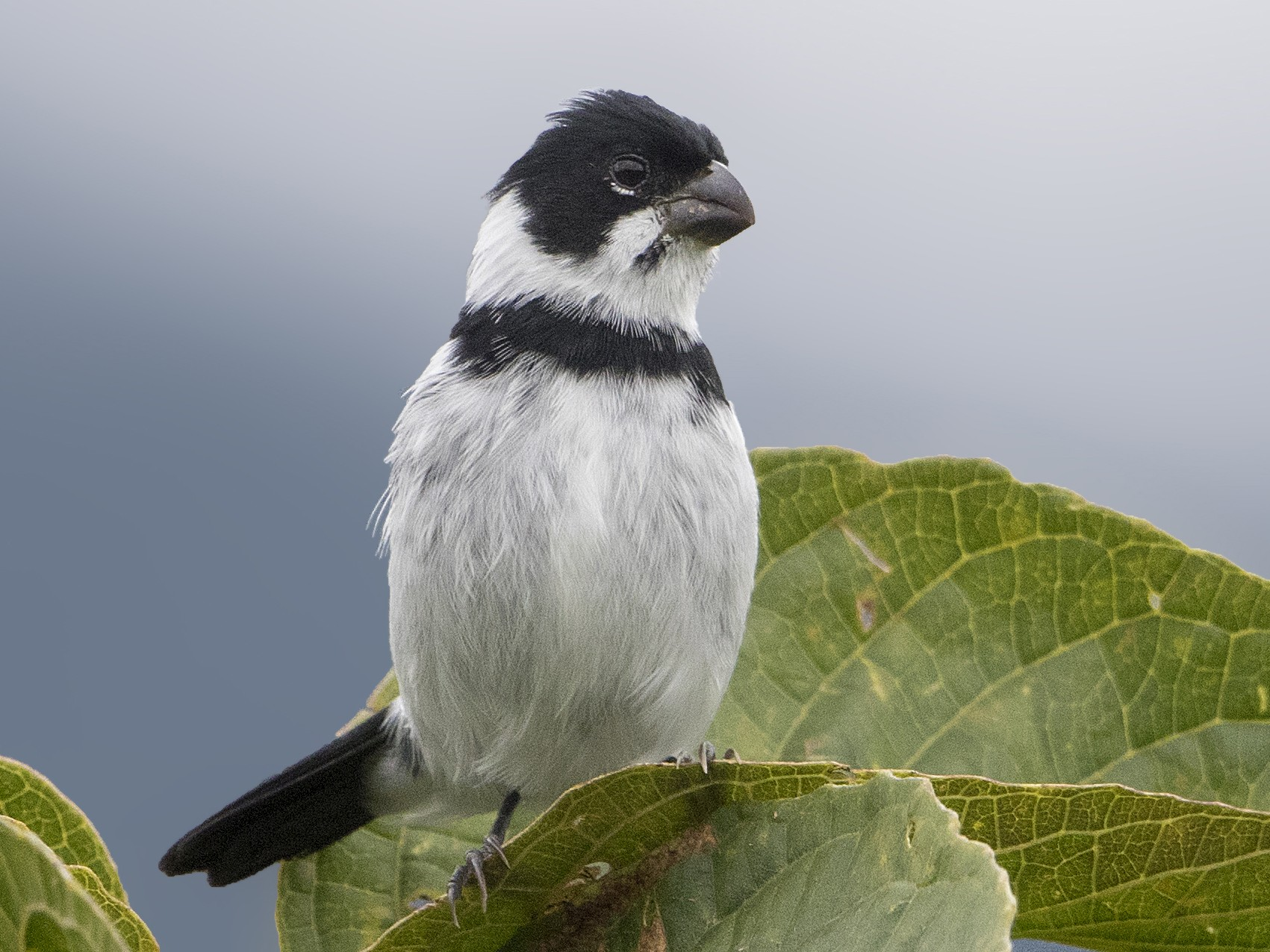 Variable Seedeater - Bradley Hacker