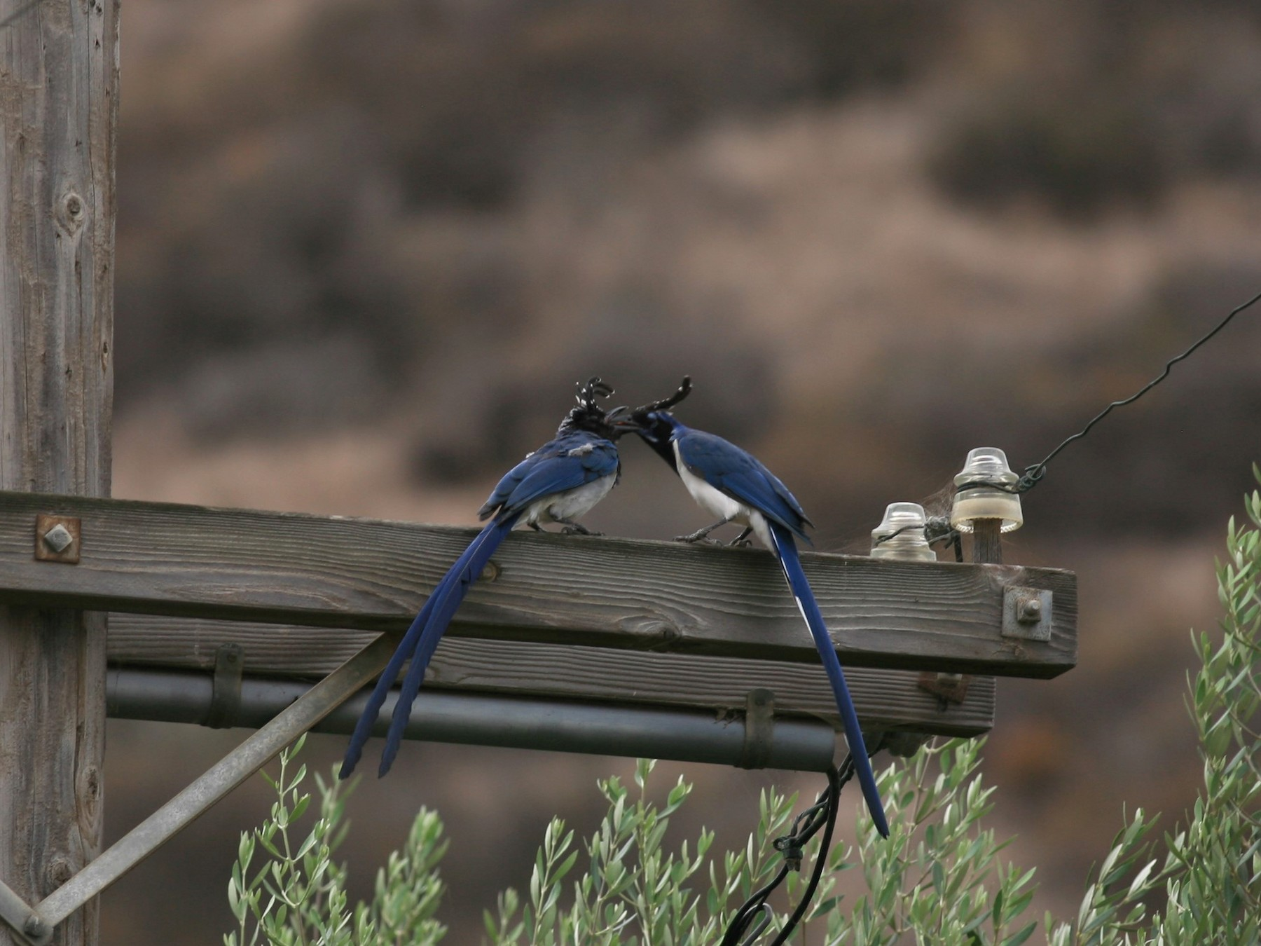 Black-throated Magpie-Jay - Kerry Ross