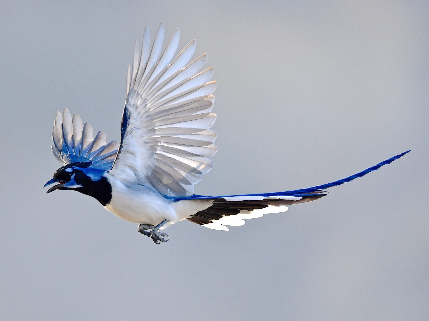 Black-throated Magpie-Jay - Gerald Friesen