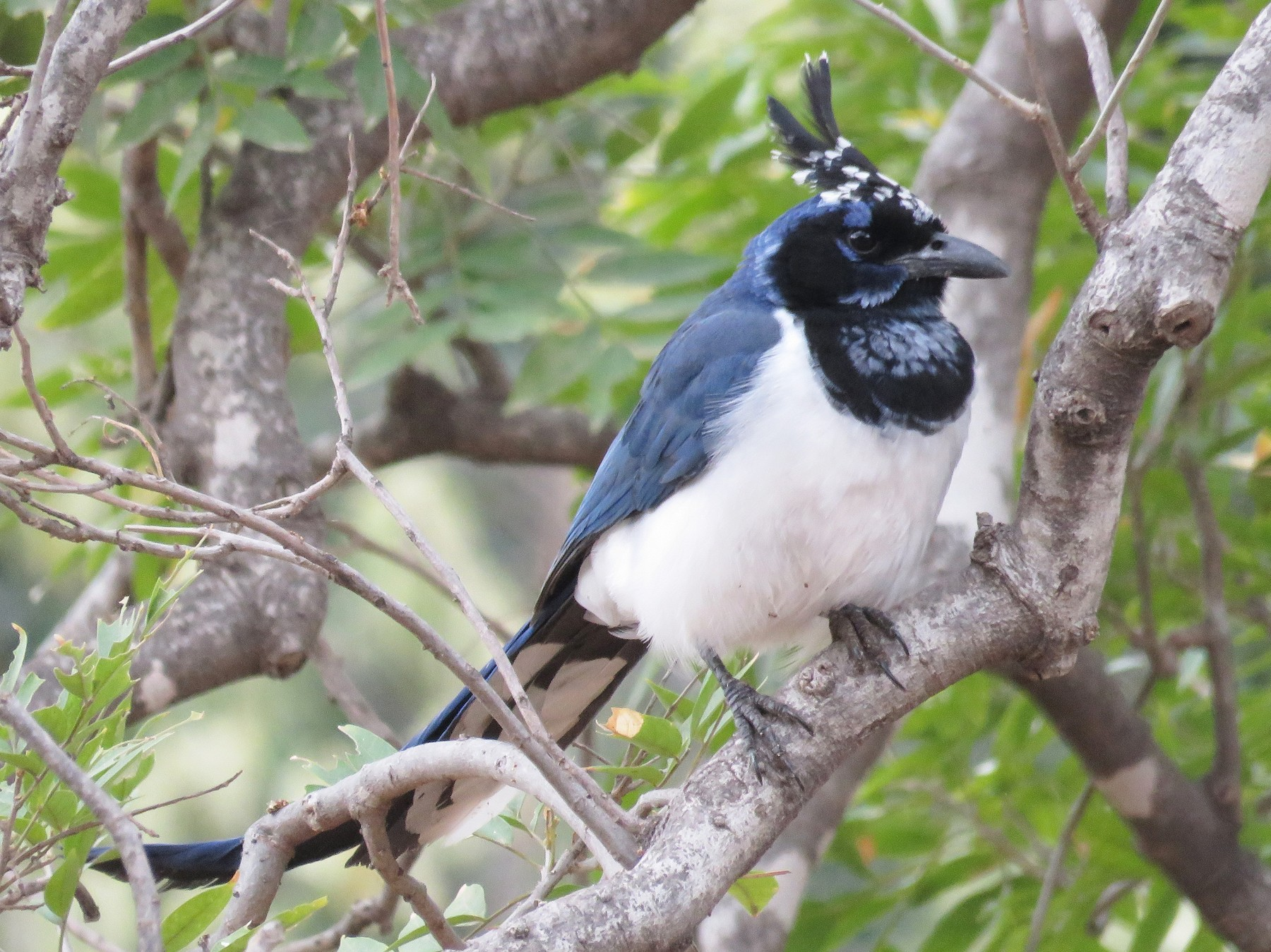 Black-throated Magpie-Jay - Chris Harbard
