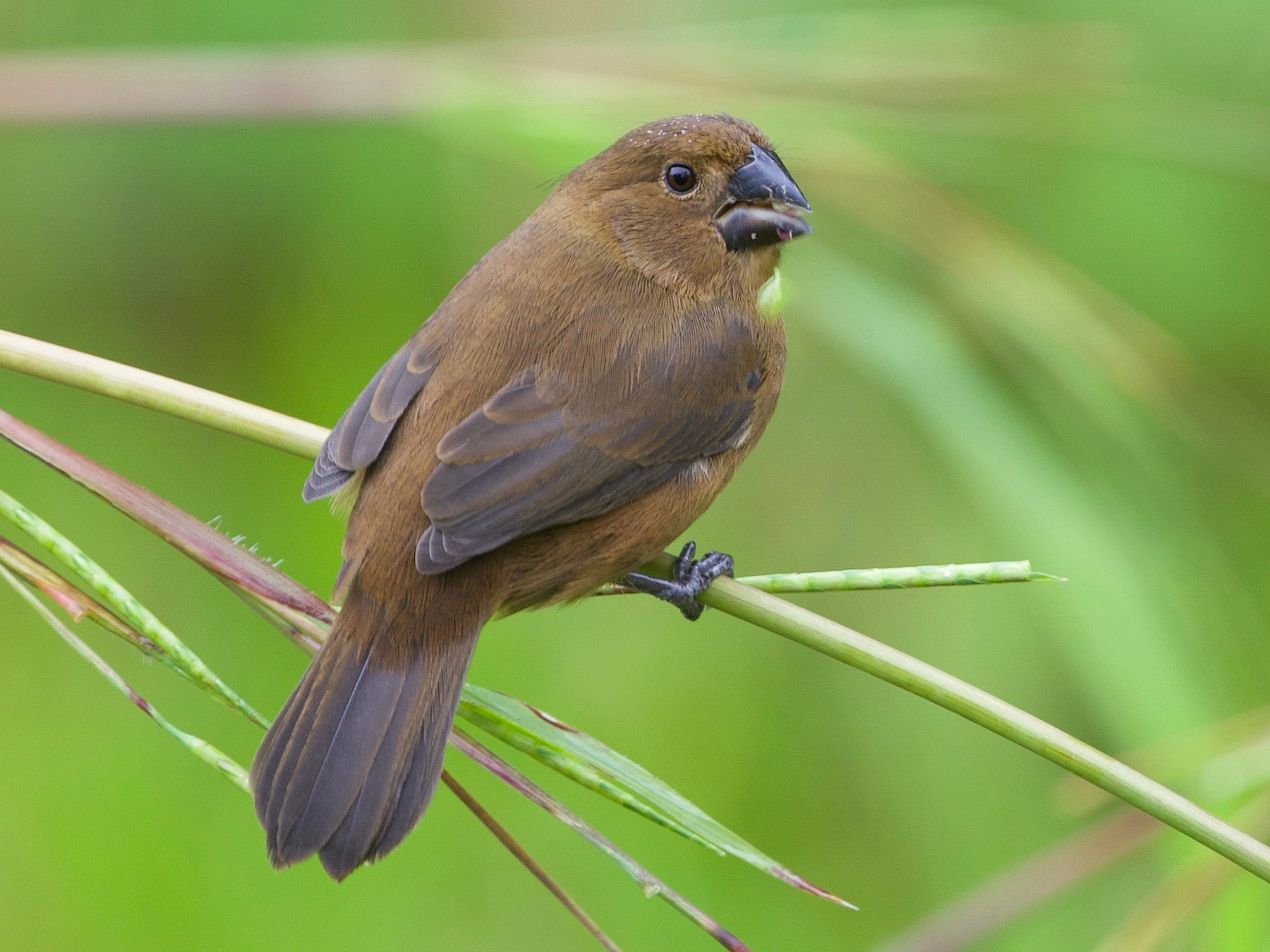 Thick-billed Seed-Finch - Cory Gregory