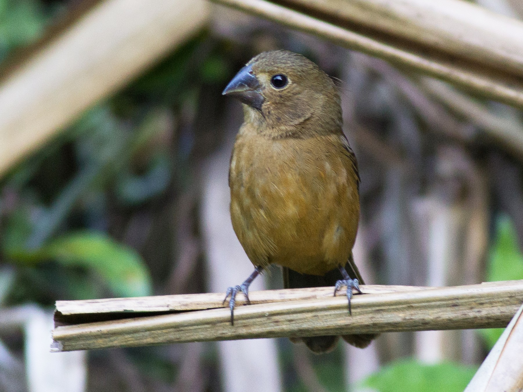 Thick-billed Seed-Finch - Francis Canto Jr
