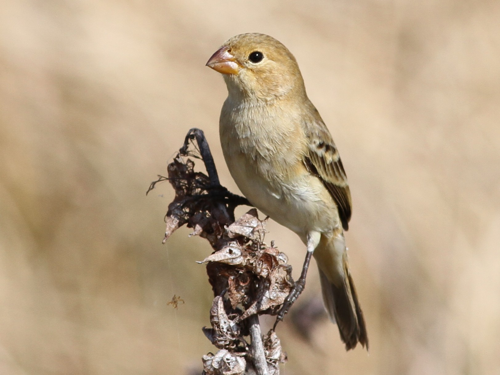 Ruddy-breasted Seedeater - Georges Duriaux