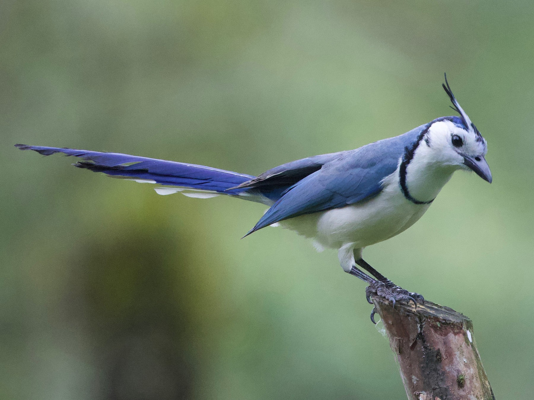 White-throated Magpie-Jay - Cory Gregory