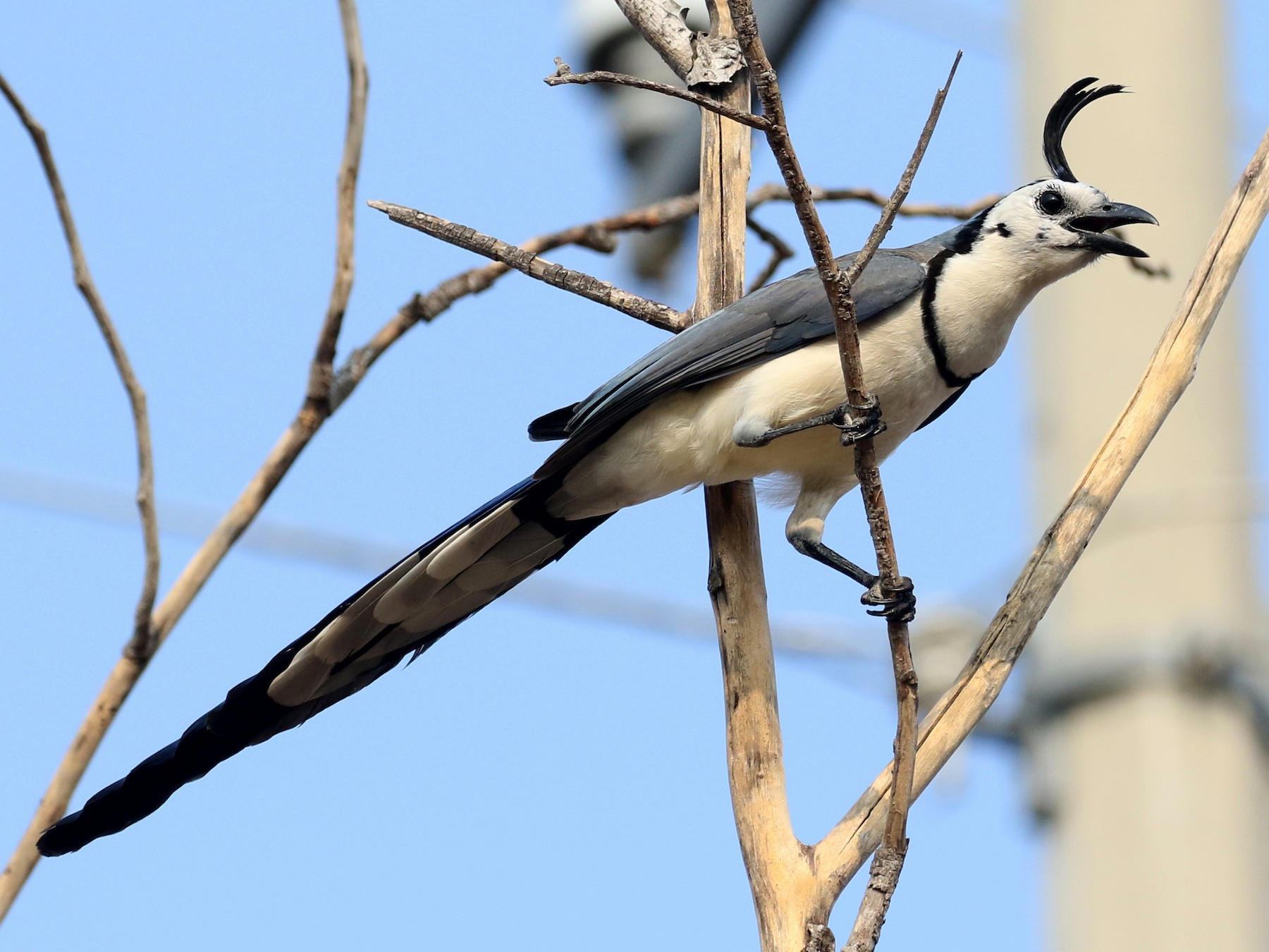 White-throated Magpie-Jay - Jay McGowan