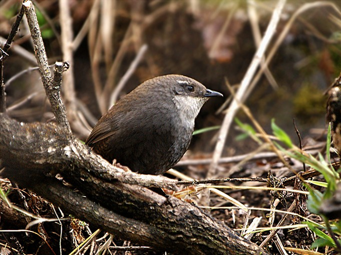 Zimmer's Tapaculo - Silvia Vitale