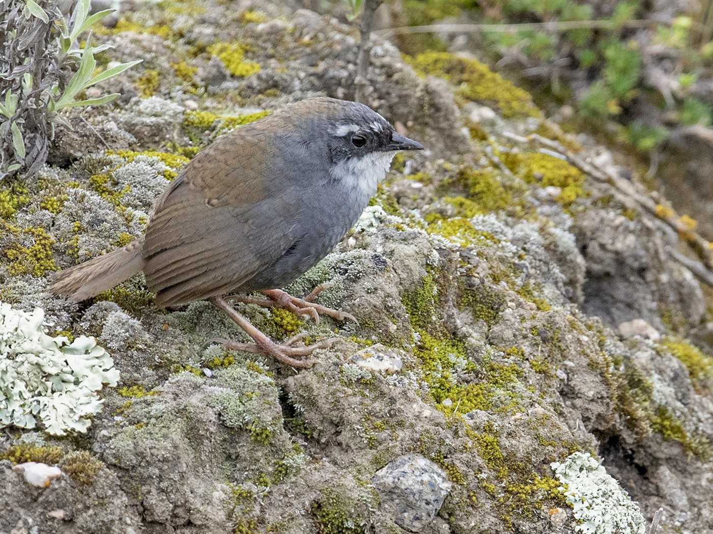 White-browed Tapaculo - Sam Woods
