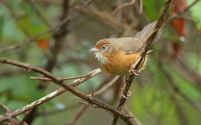 ©Albin Jacob - Tawny-bellied Babbler