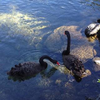 Black Swan, ML24271931