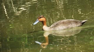 Philippine Duck, ML242745841
