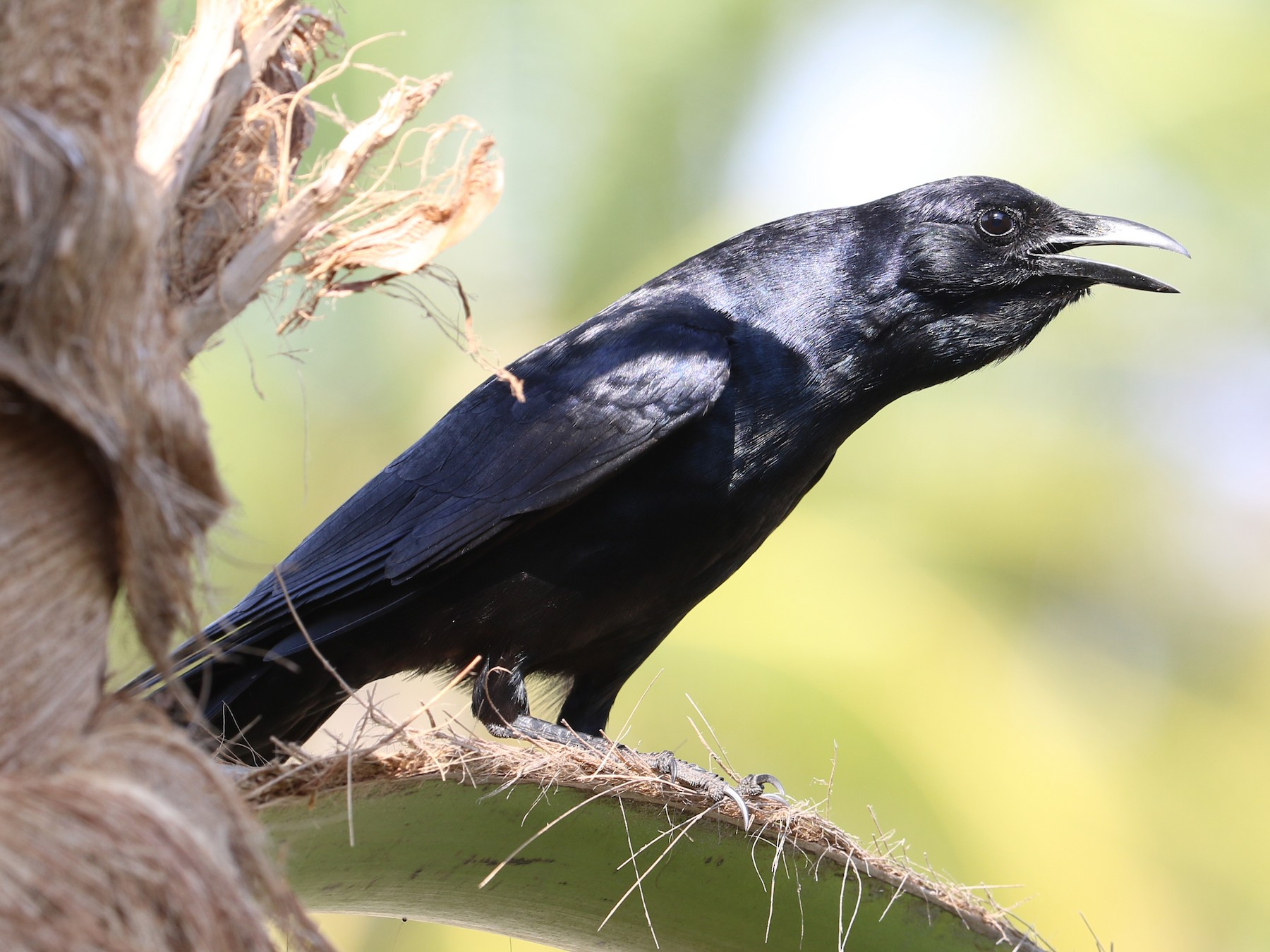 Sinaloa Crow - Alfredo Garcia