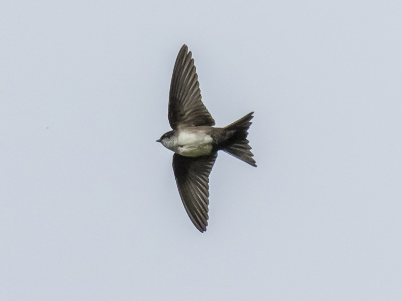 Black-capped Swallow - Daniel  Garza Tobón