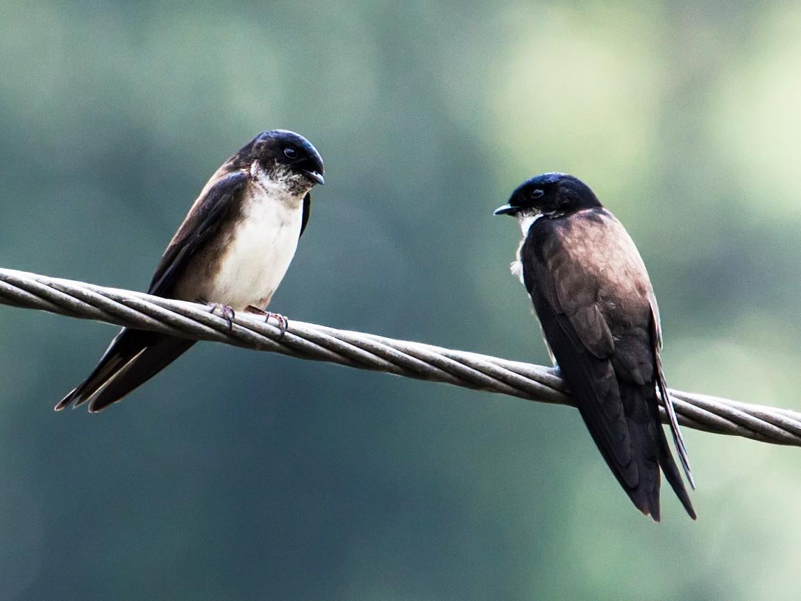 Black-capped Swallow - Nick Athanas