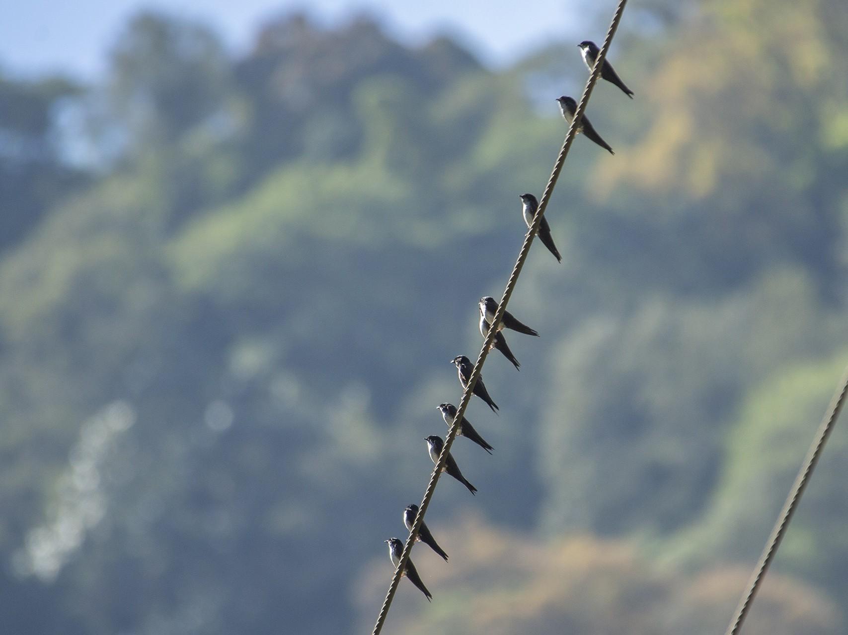 Black-capped Swallow - Joshua Covill