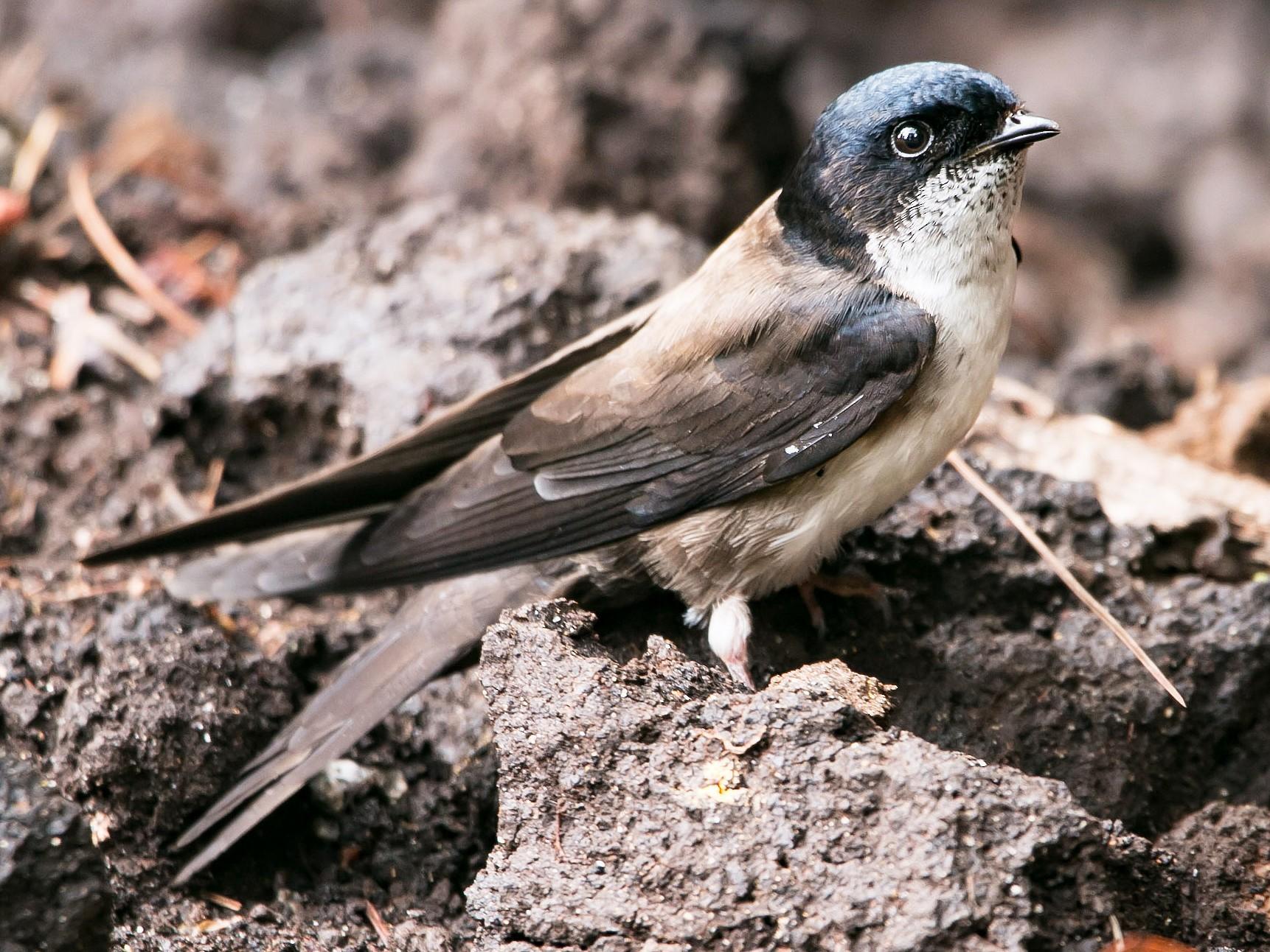 Black-capped Swallow - Isaias Morataya